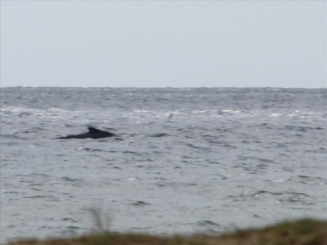Whale from Leilani Kai